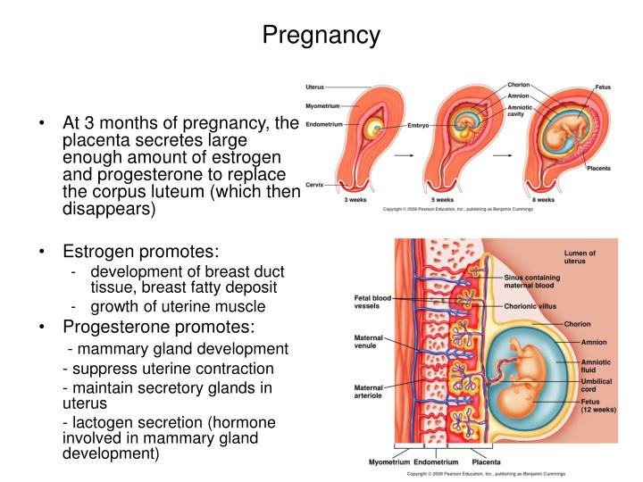 At 3 months of pregnancy, the placenta secretes large enough amount of estrogen and progesterone to replace the corpus luteum (which then disappears)