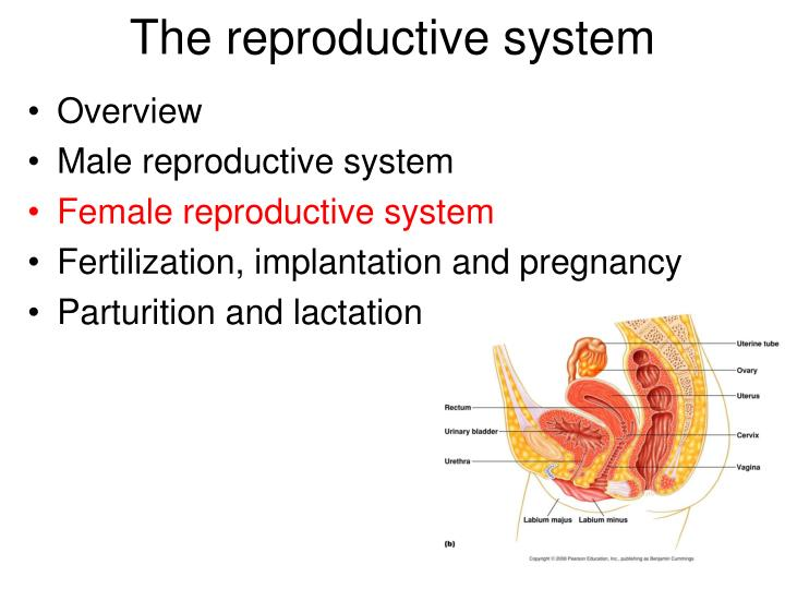 The reproductive system