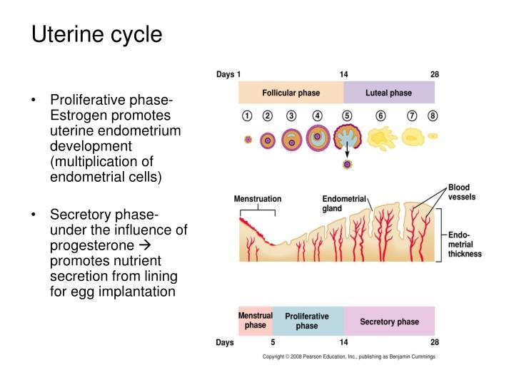 Proliferative phase- Estrogen promotes uterine endometrium development (multiplication of endometrial cells)