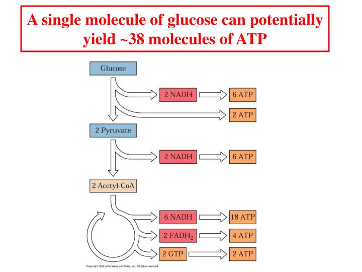 A single molecule of glucose can potentially yield ~38 molecules of ATP