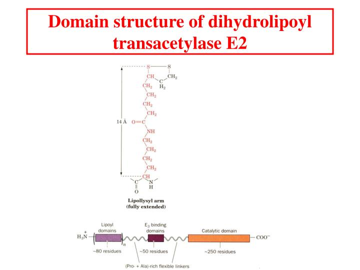 Domain structure of dihydrolipoyl transacetylase E2