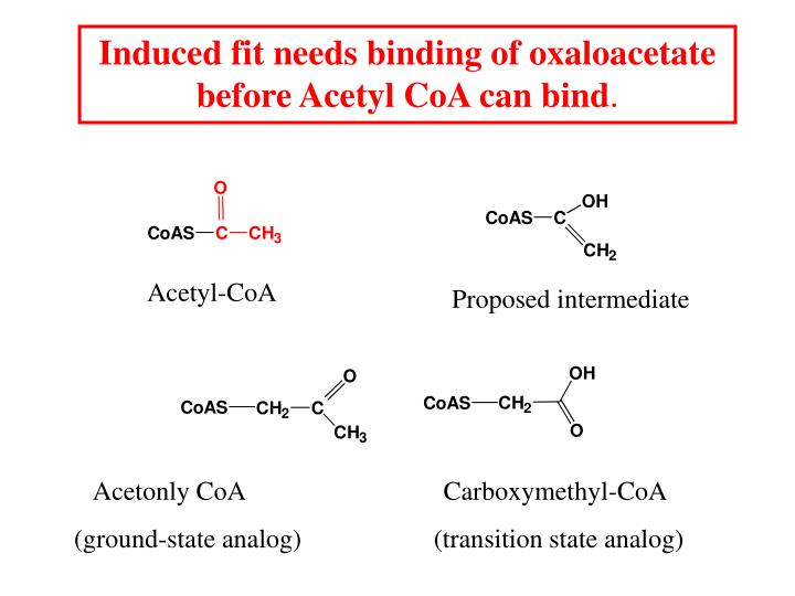 Induced fit needs binding of oxaloacetate before Acetyl CoA can bind