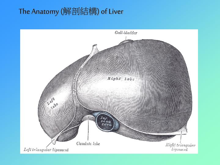 The anatomy of liver