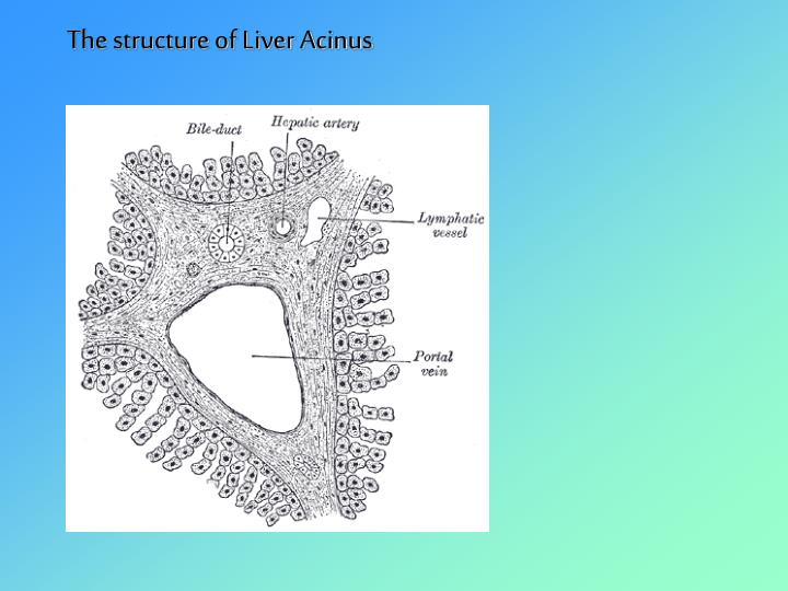 The structure of Liver Acinus