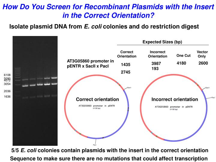 Isolate plasmid DNA from