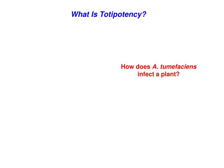 What Is Totipotency?