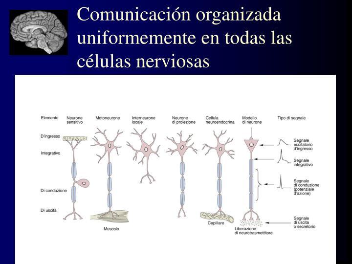 Comunicación organizada uniformemente en todas las células nerviosas