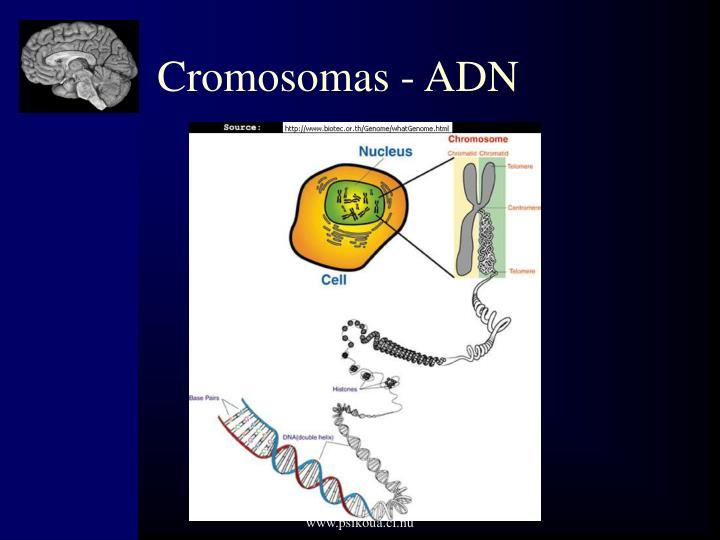 Cromosomas - ADN