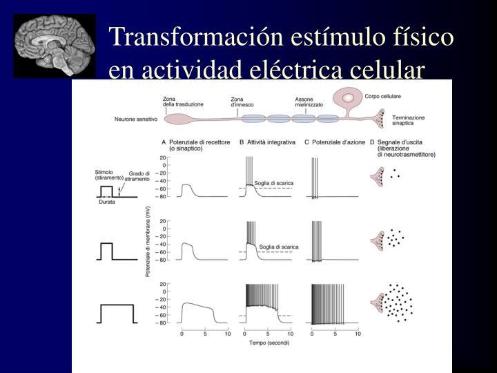 Transformación estímulo físico en actividad eléctrica celular
