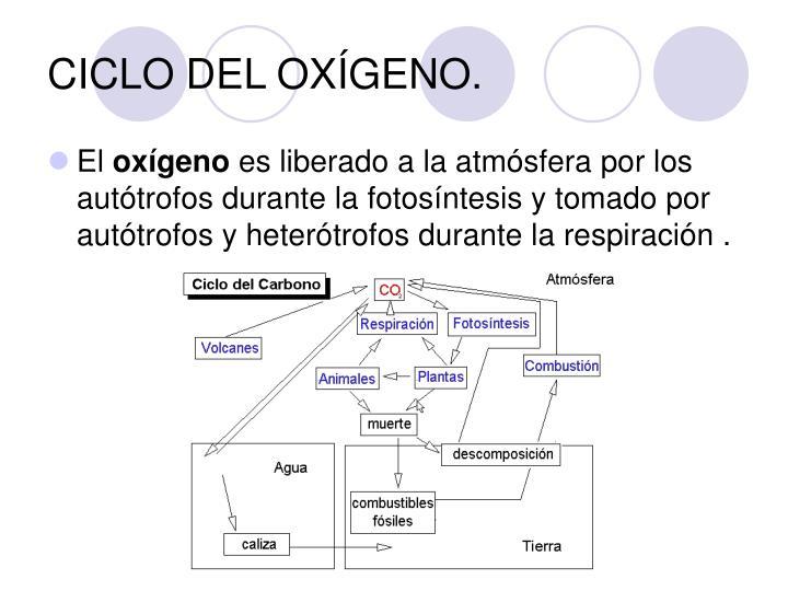 CICLO DEL OXÍGENO.