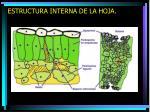 estructura interna de la hoja1
