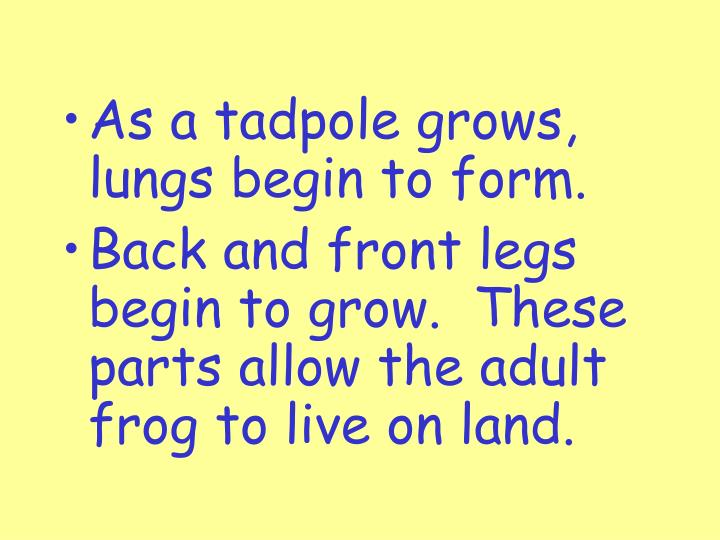 As a tadpole grows, lungs begin to form.