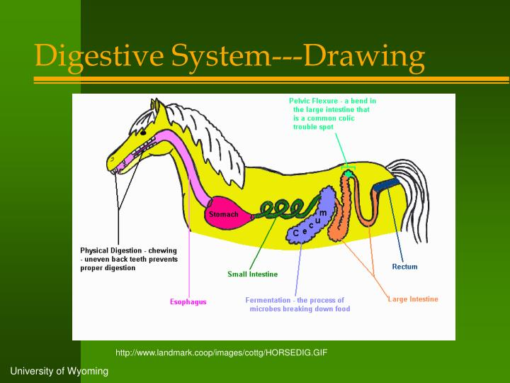 Digestive System---Drawing