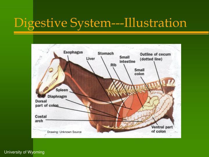 Digestive System---Illustration