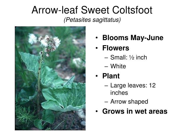 Arrow-leaf Sweet Coltsfoot