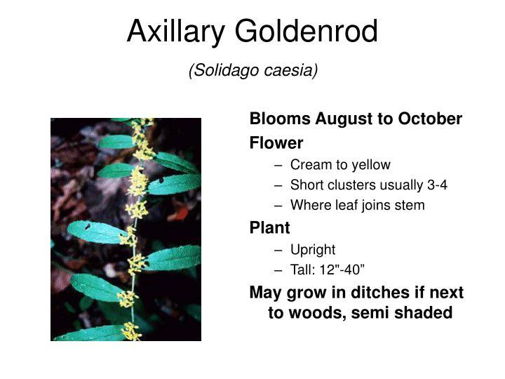 Axillary Goldenrod