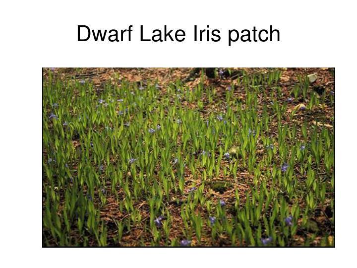Dwarf Lake Iris patch