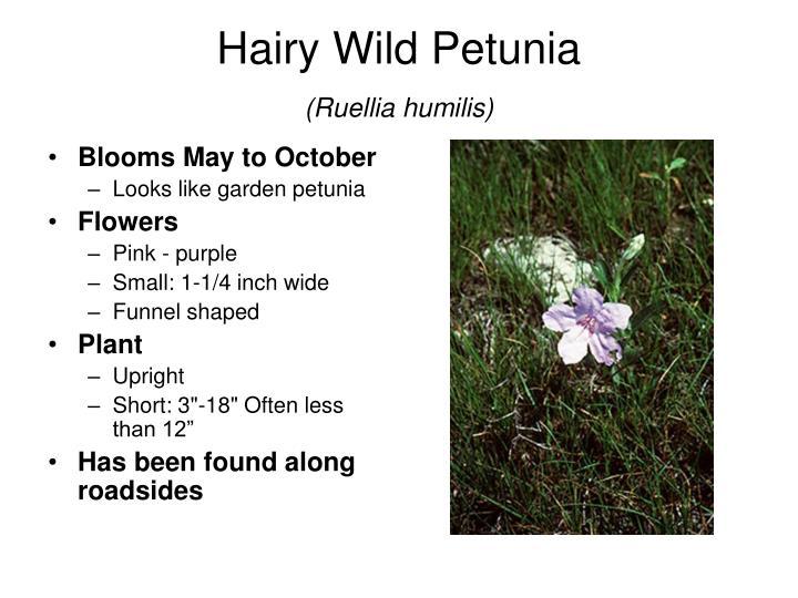 Hairy Wild Petunia