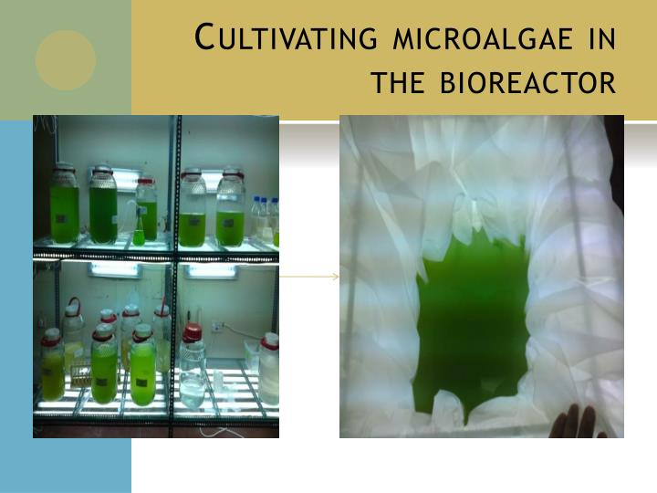 Cultivating microalgae in the bioreactor