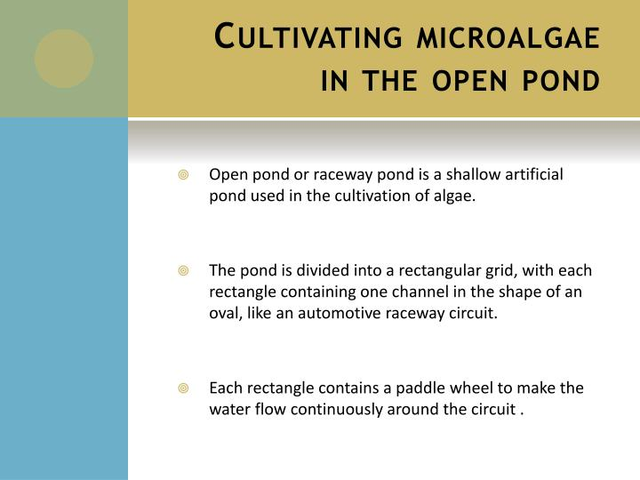 Cultivating microalgae in the open pond