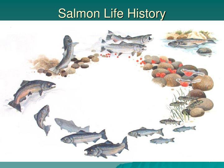 Salmon Life History