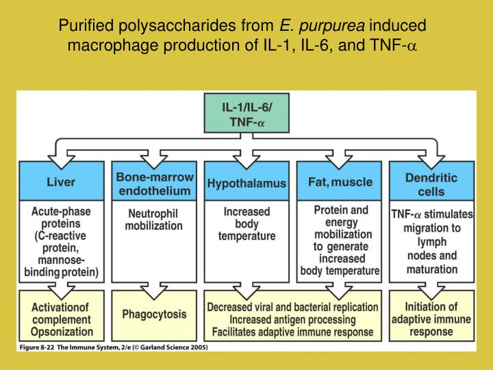 Purified polysaccharides from