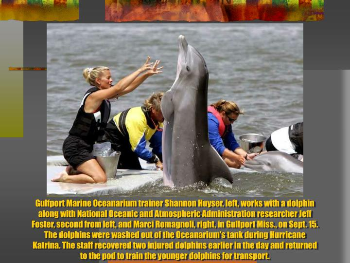 Gulfport Marine Oceanarium trainer Shannon Huyser, left, works with a dolphin along with National Oceanic and Atmospheric Administration researcher Jeff Foster, second from left, and Marci Romagnoli, right, in Gulfport Miss., on Sept. 15. The dolphins were washed out of the Oceanarium's tank during Hurricane Katrina. The staff recovered two injured dolphins earlier in the day and returned to the pod to train the younger dolphins for transport.