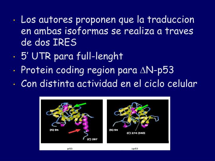 Los autores proponen que la traduccion en ambas isoformas se realiza a traves de dos IRES