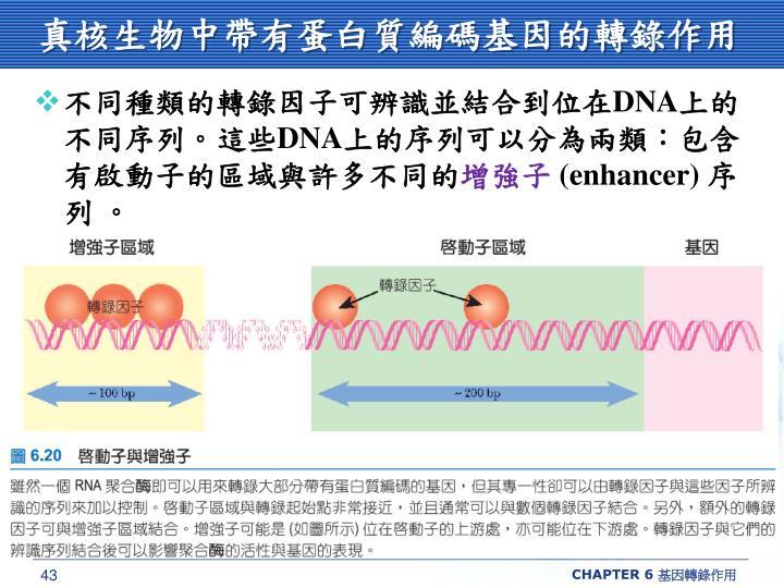 真核生物中帶有蛋白質編碼基因的轉錄作用