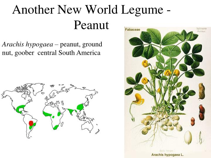 Another New World Legume - Peanut