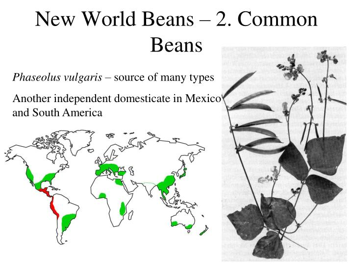 New World Beans – 2. Common Beans