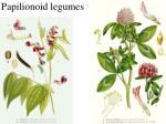 papilionoid legumes1