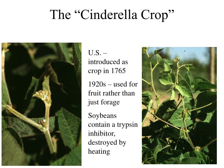"The ""Cinderella Crop"""