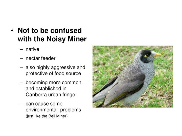 Not to be confused with the Noisy Miner