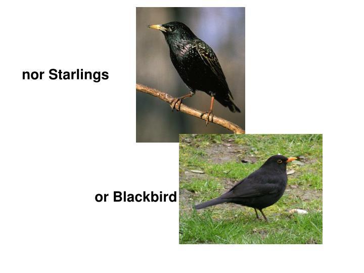 nor Starlings