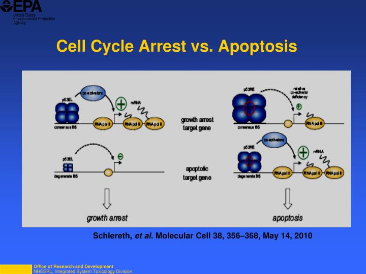 Cell Cycle Arrest vs. Apoptosis
