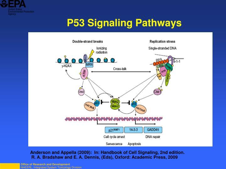 P53 Signaling Pathways