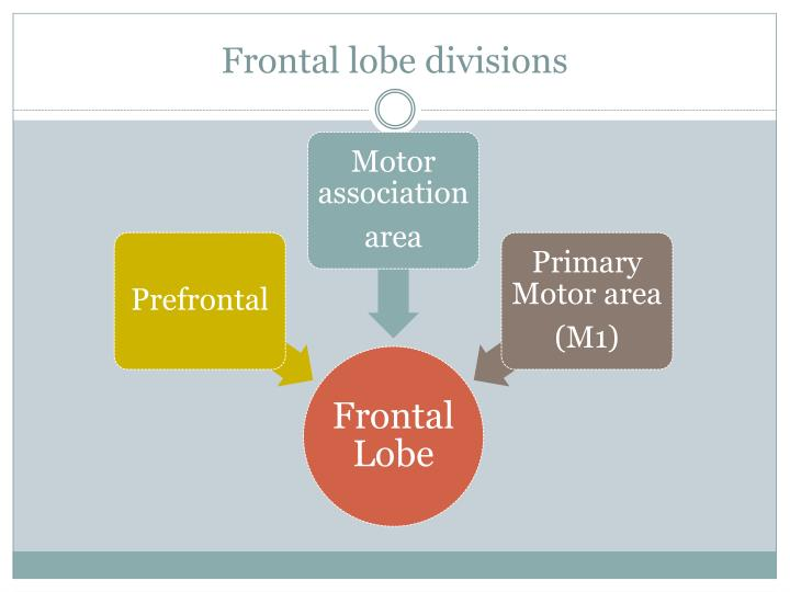 Frontal lobe divisions