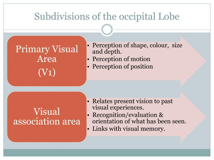 Subdivisions of the occipital Lobe