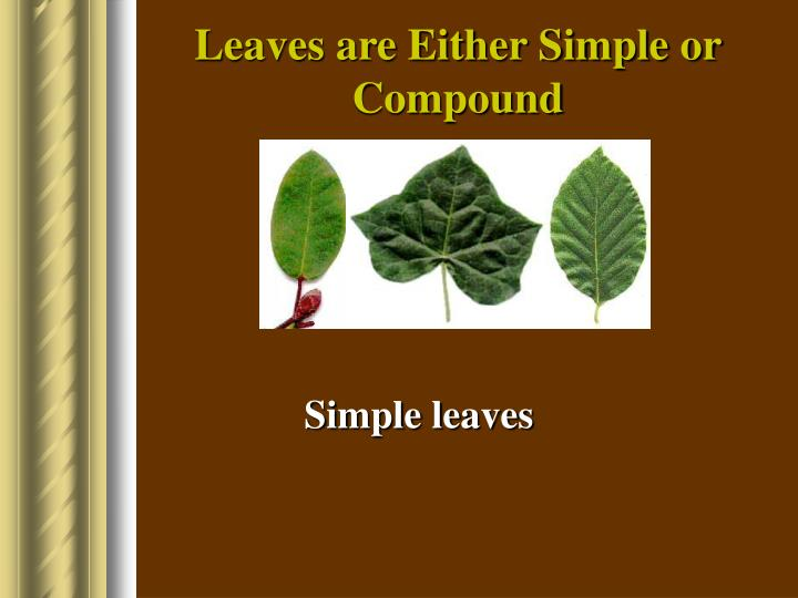Leaves are Either Simple or Compound