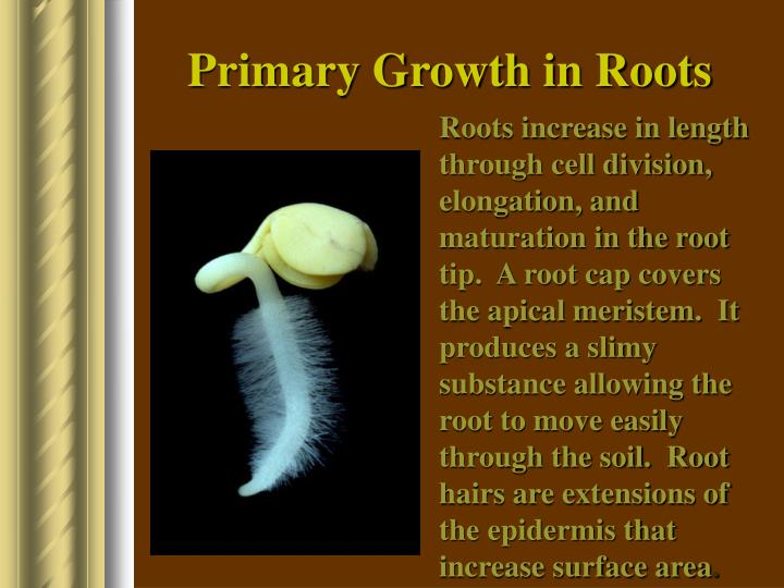 Primary Growth in Roots