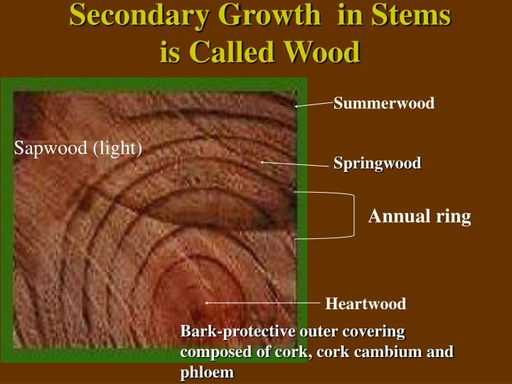 Secondary Growth  in Stems is Called Wood