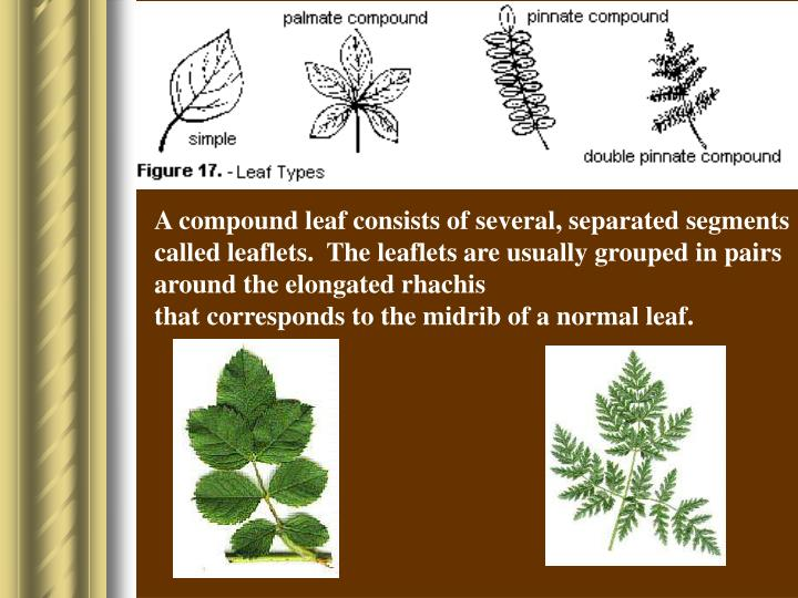 A compound leaf consists of several, separated segments called leaflets.  The leaflets are usually grouped in pairs around the elongated rhachis
