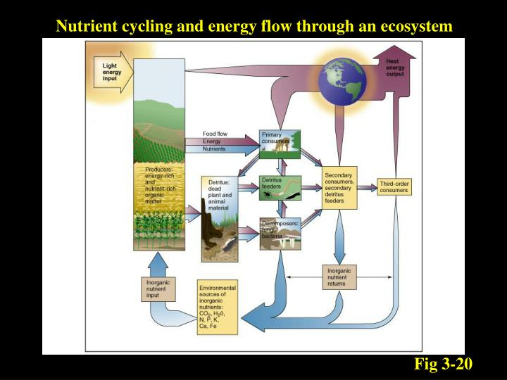 Nutrient cycling and energy flow through an ecosystem