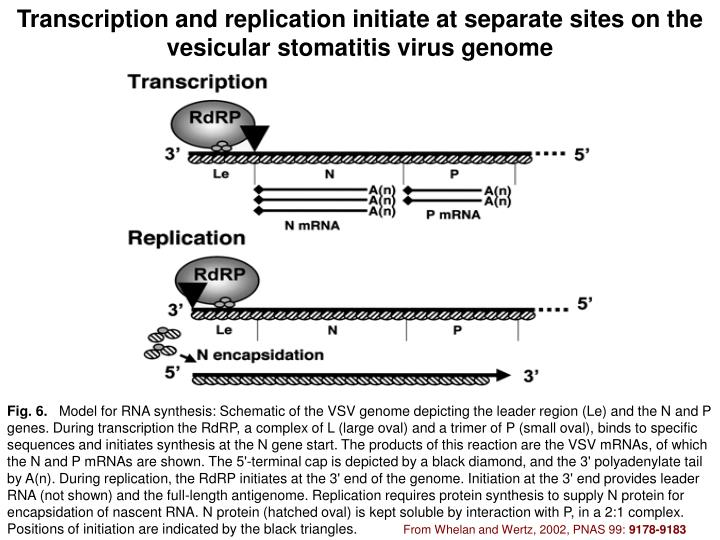Transcription and replication initiate at separate sites on the vesicular stomatitis virus genome