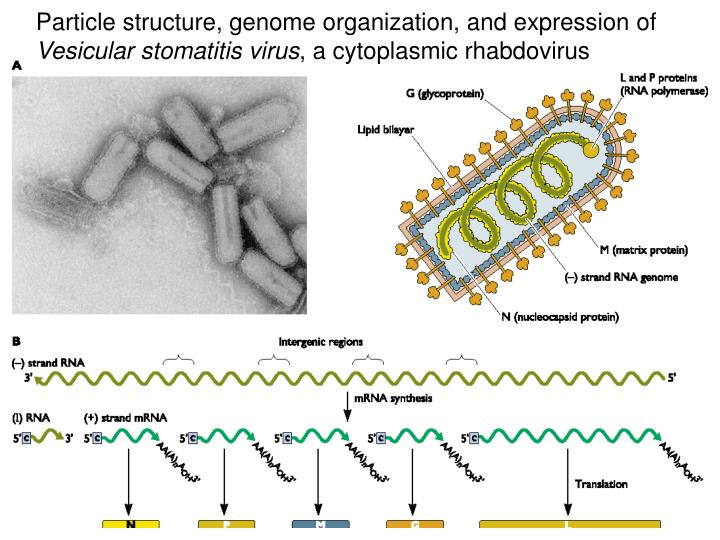 Particle structure, genome organization, and expression of