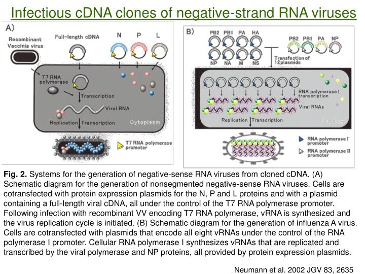 Infectious cDNA clones of negative-strand RNA viruses