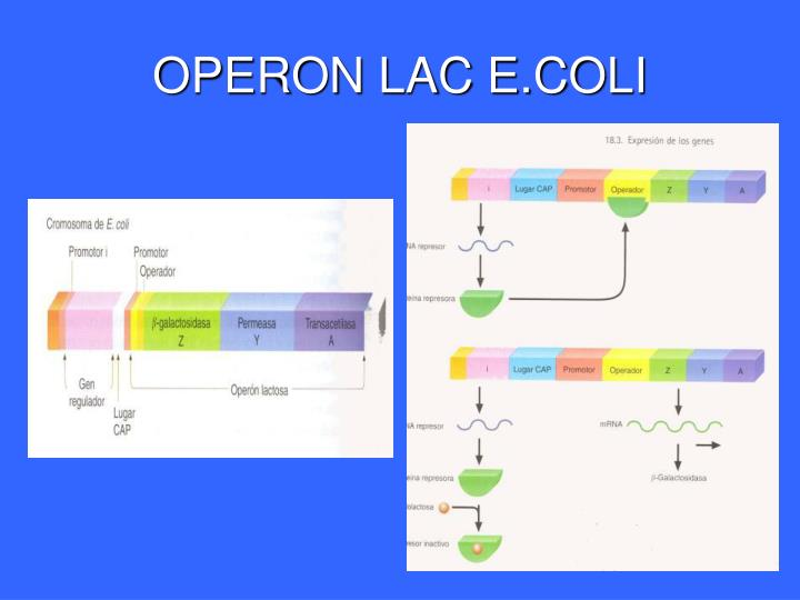OPERON LAC E.COLI