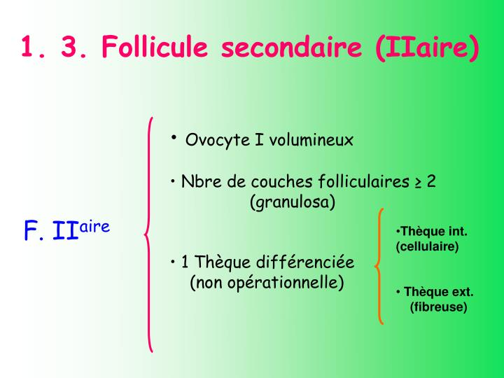 1. 3. Follicule secondaire (IIaire)