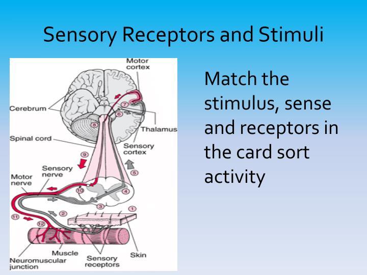Sensory Receptors and Stimuli